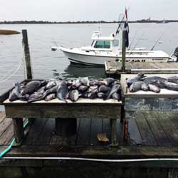 75 LBI Black Sea Bass Hooked On Black Friday