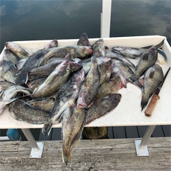Sea Bass Boat Limit Plus A Couple Bonitas Mackerel And Porggy