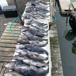 Maxed Out Sea Bass Limit By 7:30